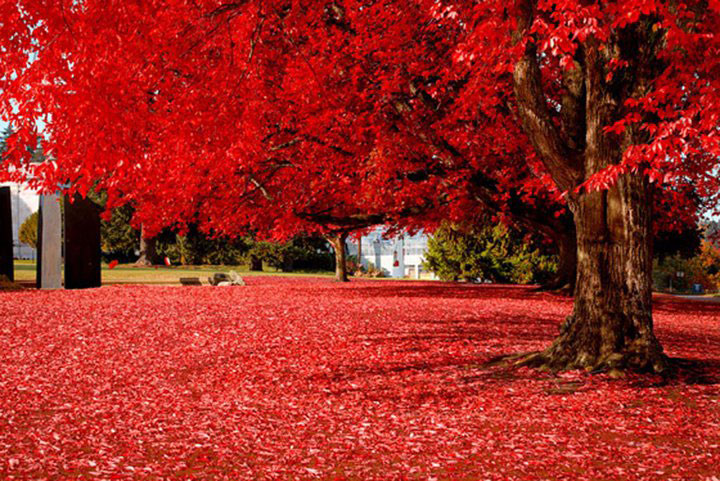 Red leaves fall